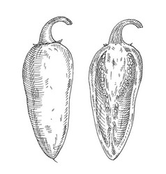 Whole and half pepper jalapeno vintage hatching vector