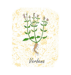 Herbal plant verbena placed on substrate vector