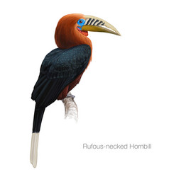 rufous-necked hornbill vector image vector image