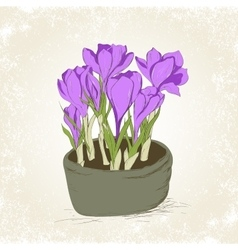 crocus in the pot vector image
