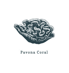 Pavona coral drawing of sea vector