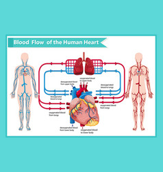 Scientific medical human blood flow vector
