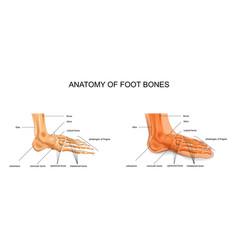 Anatomy of the foot bones vector