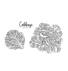 Cabbage hand drawn isolated vector