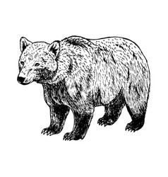 hand drawn bear black white sketch vector image