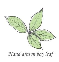 Hand drawn raw bay leafs sketch vector