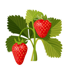 strawberry with green leaves isolated on white vector image vector image