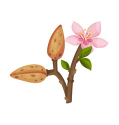 almond plant blossoming with flower and nut vector image
