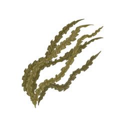 Brown laminaria alga or kelp edible seaweed vector