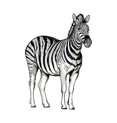 Zebra from a splash watercolor colored drawing vector