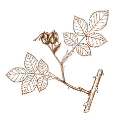 rosa andegavensis vector image