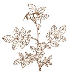 rosa andreewskiy vector image