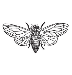 Seventeen year locust vintage vector