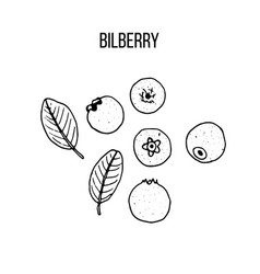 berry hand drawn collection bilberry vector image