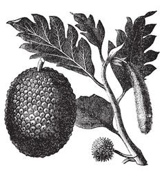 Breadfruit artocarpe vintage engraving vector