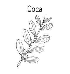 Erythroxylum coca vector