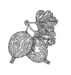 hand drawn gooseberries branch vector image