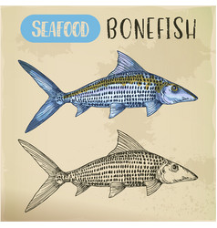 Bonefish sketch or hand drawn seafood vector