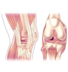 Knee anatony vector image