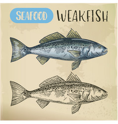 sea trout or weakfish sketch for vegetarian shop vector image
