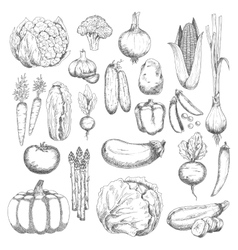 Wholesome farm vegetables sketches set vector image