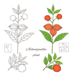 Ashwagandha plant 2-02 vector