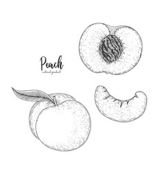 hand drawn of peach isolated on white vector image