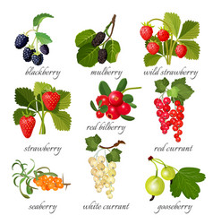 black blackberry and mulberry wild strawberry vector image vector image