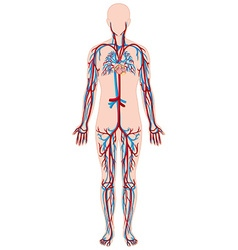 Blood vessels in human body vector image