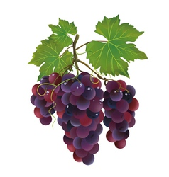 Realistic black grape with water drops vector image