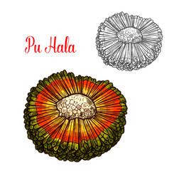 Exotic hala fruit sketch with orange husk vector