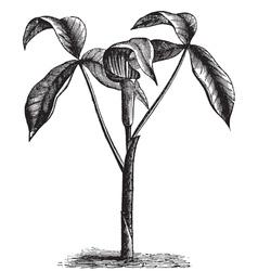Wild turnip old engraving vector