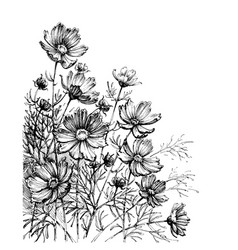 Cosmos flowers hand drawing garden background vector