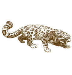 Engraving of snow leopard vector