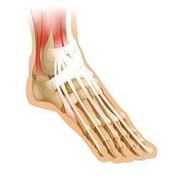 Human foot vector