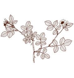 rosa micrantha vector image