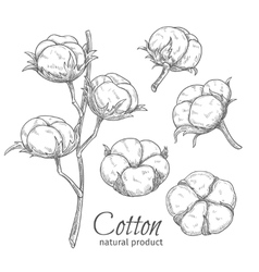 Hand drawn cotton flowers vector