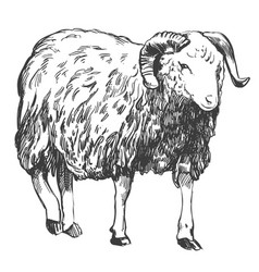 sheep hand drawn realistic vector image vector image