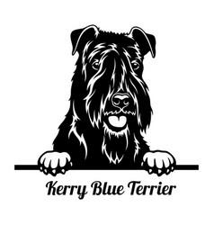 peeking dog - kerry blue terrier breed - head vector image