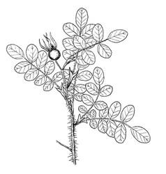 Rosa pimpinelifolia vector