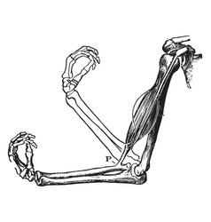 Biceps muscle and arm bones vintage vector