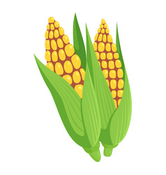corn on a cob yellow grains in green leaves vector image