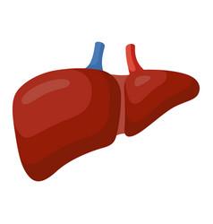 liver large organ in a human abdomen vector image