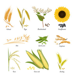 Stems of wheat and rye sunflower and pea food vector