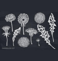 set hand drawn chalk dandelion vector image