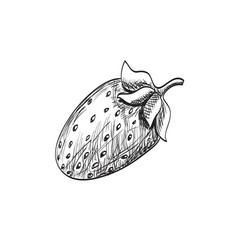 sketch strawberry vector image