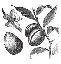 Almond tree vintage engraving vector image vector image