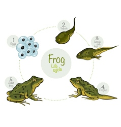 Life cycle of a frog vector image