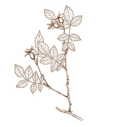 rosa subafzeliana vector image vector image