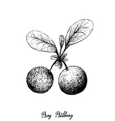 Hand drawn of bog bilberries on white background vector